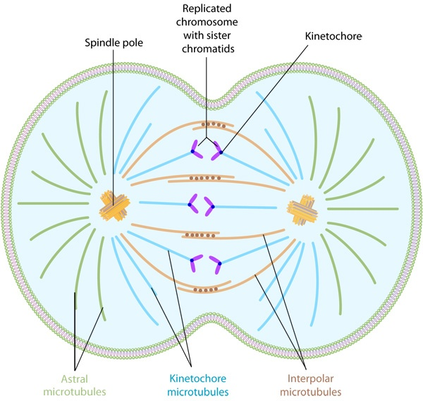 during mitosis chromosomes are guided into two sets by